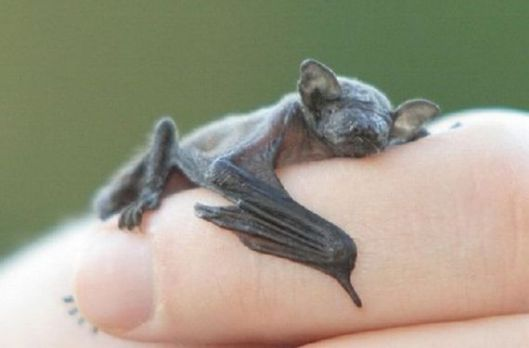A baby bat, not much bigger than the one on our step. (Photo credit: Animals of the Planet Earth website)